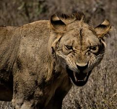 [フリー画像] [動物写真] [哺乳類] [ネコ科] [ライオン] [威嚇]      [フリー素材]