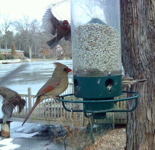 Cardinal: Birdcam