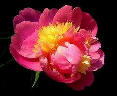 Delectable (milomingo) Tags: flower nature bloom blossom pink petals closeup peony yellow ruffled vivid spring mygarden onblack flowerscolors awesomeblossoms botanical ngc