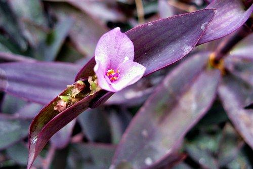 Tradescantia pallida var. purpurea (rq) - 01