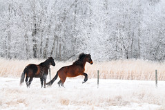 poetry in motion . . . (anniedaisybaby) Tags: trees winter horse white field rural forest fence frost mare farm country manitoba iphoto gimli equine corral interlake hehhehheh topseven thelittledoglaughed nikond300 magicunicornverybest magicunicornmasterpiece notextureneededthefrostprovidedalovelynaturaltexture yestexturefreeyouheardmelol