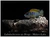 Labidochromis hongi (Bruno Cortada) Tags: malawi marino mbunas cíclidos sudafricanos tanganyica