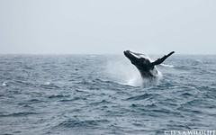 Humpback I (wietse?) Tags: wildlife antarctica whale humpbackwhale