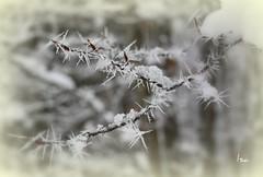 SPINE DI GHIACCIO (isolina7) Tags: winter italy snow ice alberi photo italia foto natura neve spine thorn piante inverno ghiaccio alberighiacciati lefotopiùbelledelmondo isolina7 spinedighiaccio