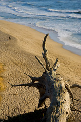 Half Moon Bay Driftwood (itonys) Tags: ocean california wood sea usa tree beach canon pacificocean stump 2008 halfmoonbay eos1d