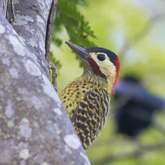 Pica-pau-verde-barrado (Green-barred woodpecker) (Bertrando) Tags: nature birds wildlife natureza aves pssaros greenbarredwoodpecker colaptesmelanochloros picapauverdebarrado avianexcellence vosplusbellesphotos