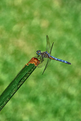 The Blue Model (Jeff Clow) Tags: blue macro green nature closeup insect dragonfly details dfw jeffrclow