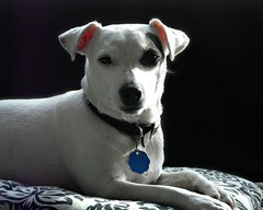 Roxy (St-Even) Tags: portrait dog pet animal nose terrier jackrussell roxy snout