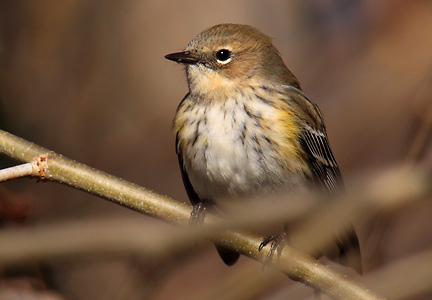 yellow-rumped warbler - repose