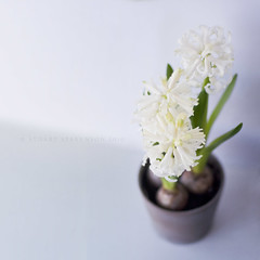 Spring ready to spring? (Stuart Stevenson) Tags: light stilllife white flower window bulb 50mm three spring 14 naturallight indoor pot lilac fragrant bloom delicate hyacinth borrowedcamera springflower intouchwithmyfeminineside completelydifferentfrommylastshot
