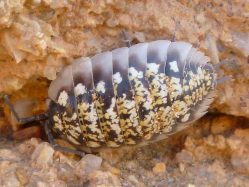 Prehistoric Anthropod