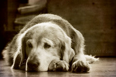 6/52  dreamland calling (Ciscolo) Tags: sleeping dog chien goldenretriever canine textures hund cisco napping k9 652 52weeksfordogs