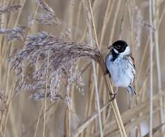 Reed Bunting Perch (Andrew Haynes Wildlife Images) Tags: bird nature wildlife warwickshire avian brandonmarsh canon7d ajh2008