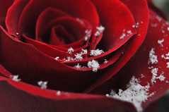 Forever (BKHagar *Kim*) Tags: red snow rose droplets drops al alabama flakes athensal bkhagar