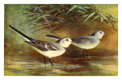 004-Aguzanieves blanco-Egyptian birds for the most part seen in the Nile Valley (1909)- Charles Whymper