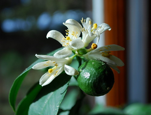 meyer lemon blossoms