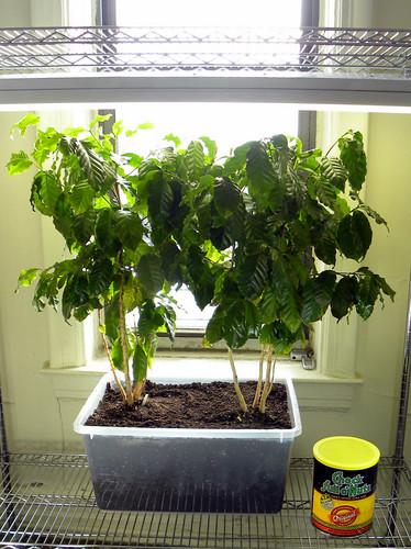 Indoor Coffee Plantation