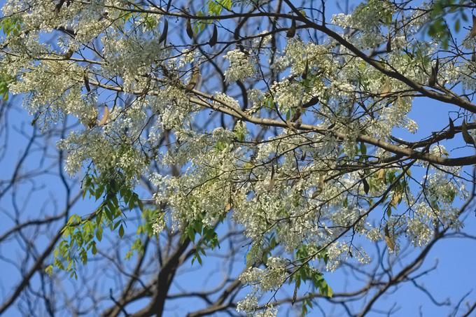 Trang troi hoa Sua