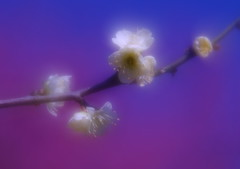 Plum Flowers (h orihashi) Tags: macro beautiful japan pentax plum harmony 日本 softfocus 花 soe pictureperfect nationalgeographic musictomyeyes aphoto 広島 k7 blueribbonwinner coth supershot flickrsbest bej ソフト fineartphotos royalgroup diamondheart platinumphoto colorphotoaward impressedbeauty flickrhearts flickraward crystalaward infinestyle diamondclassphotographer flickrdiamond flickrbronzeaward citrit excellentphotographerawards heartawards theunforgettablepictures diamondstars afloweraday colourartaward platinumheartaward justpentax everydayissunday goldstaraward flickrestrellas cherryontopphotography peaceawards rubyphotographer damniwishidtakenthat colorphotoawardpremier pentaxk7