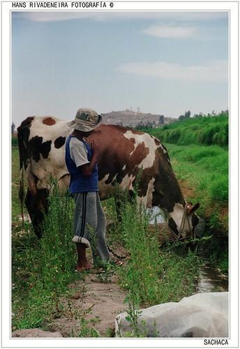 Juan cuidando las vacas