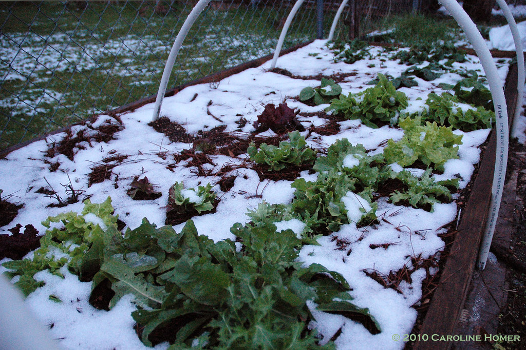 Lettuces in snow