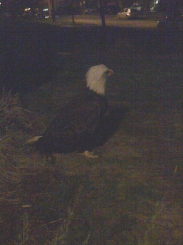 Bald Eagle spotted in Kenton neighborhood. Portland, Oregon