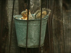 Squirrel in a Bucket (boisebluebird) Tags: animal squirrel funny boise funnyanimals michaeltoolson boisebluebirdcom httpwwwboisebluebirdcom boiselandscaping boisegardener