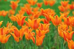 Orange tulips. (ipaloni) Tags: flowers orange colors nikon tulip d300 orangetulip nikond300