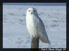 Snowy Owl Pic #2 (Pete's Photo Magic) Tags: canada pentax snowy alberta owl dailypost k20d