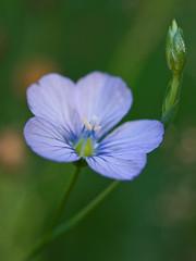Linum bienne (Sinkha63) Tags: france flower macro fleur prairie wildflower corrèze bleue flore limousin blueflower beynat linaceae paleflax eté linumbienne linacées thebestofmimamorsgroups linàfeuillesétroites linbisannuel annesorbes tbfscompetition50