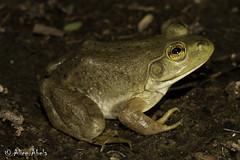 American Bullfrog (Lithobates catesbeianus) (aliceinwl1) Tags: az americanbullfrog amphibia amphibian anura arizona arizona2008 bullfrog chordata lithobates lithobatescatesbeianus rana ranacatesbeiana ranidae santacruzcounty truefrog catesbeiana catesbeianus herp locnoone viseveryone