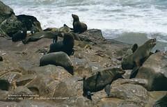 Cape Cross, Seals (blauepics) Tags: africa sea nature water animals landscape tiere rocks meer wasser natur afrika landschaft namibia robben felsen seehunde visipix