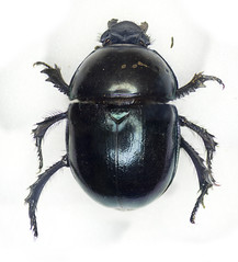 Geotrupes sp. (Chris_Moody) Tags: insect beetle british microscope dung invert scarab invertebrate microphotography coleoptera microphoto geotrupes
