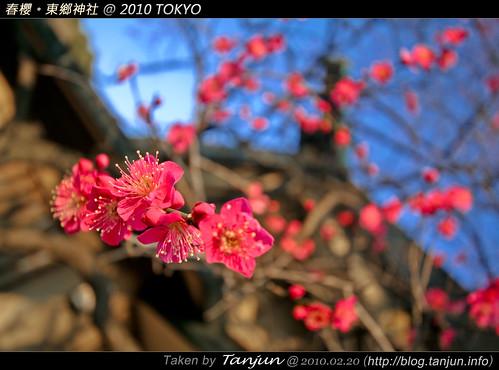 春櫻。東鄉神社 @ 2010 TOKYO