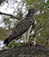 Martial Eagle with Prey (Marc_Scott-Parkin) Tags: martialeagle polemaetusbellicosus