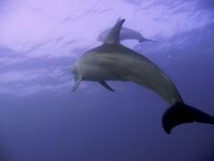 Delfin Mular del Oceano Indico (Tursius Aduncus) (FRosselot) Tags: redsea scubadiving buceo marrojo
