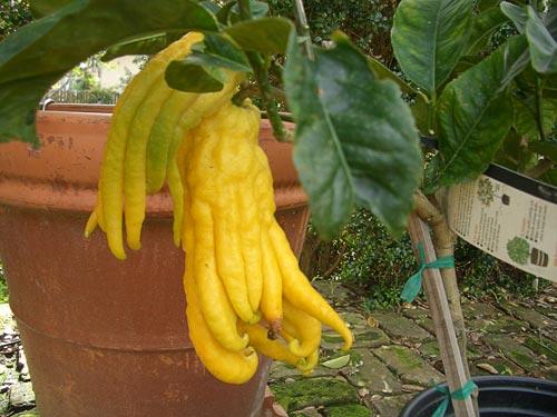 buddah's-hand-lemons