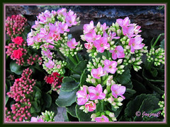 Kalanchoe blossfeldiana (Christmas Kalanchoe) with pink flowers, at a garden retail nursery