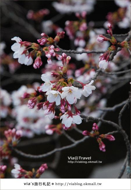 【via關西賞櫻行】京都賞櫻景點~哲學之道6
