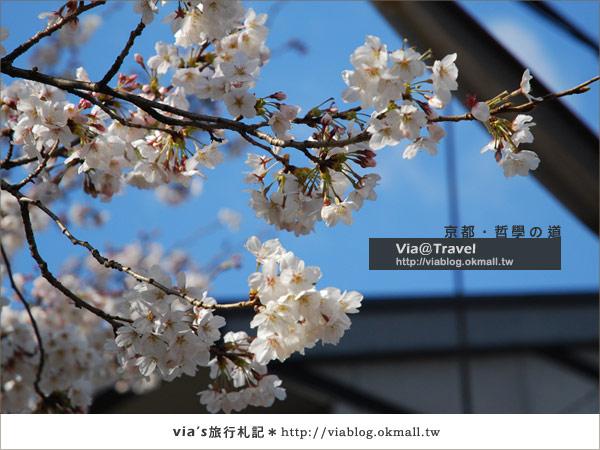 【via關西賞櫻行】京都賞櫻景點~哲學之道21