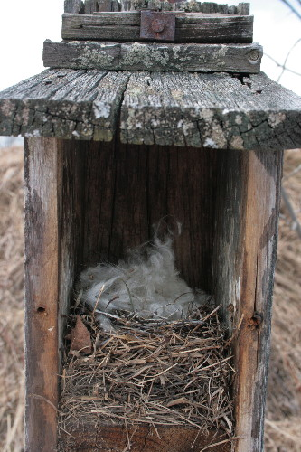 Eastern Bluebird nest in nestbox