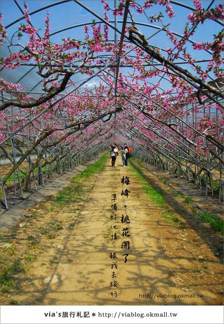 【梅峰農場桃花緣】最美的桃花隧道,就在南投梅峰這裡~(上)20