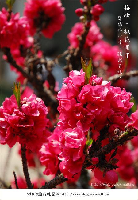 【梅峰農場桃花緣】最美的桃花隧道,就在南投梅峰這裡~(上)44