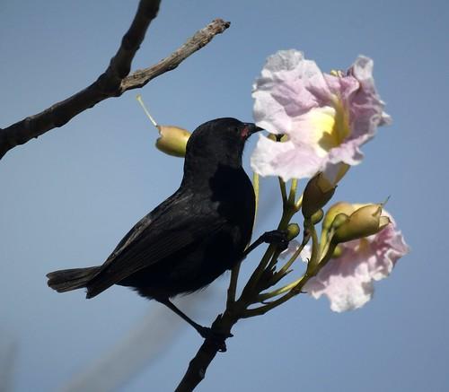 Bananaquit (Black Morph)