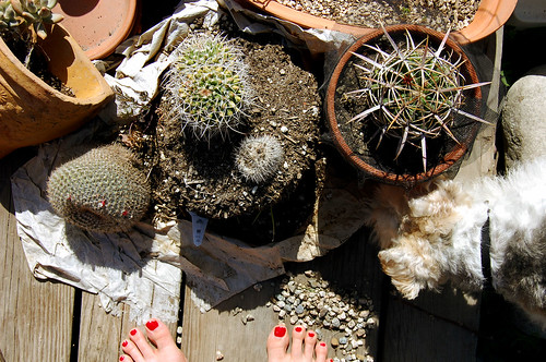 cacti, unpotted