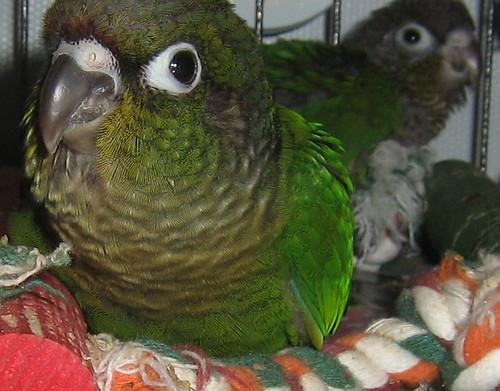 Baby Green Cheek: Aren't I CUTE!