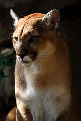 Attentive Puma/Cougar (D200-Paul) Tags: cats pumas felines cougars philadelphiazoo mountainlions