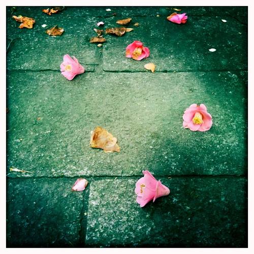 camellia**