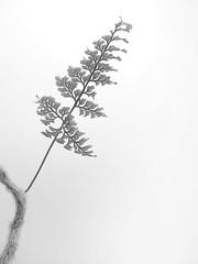Davallia sp. (Mikhail Ursus) Tags: plants fern leaves ferns formyblog myhouseplants