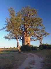 Baobab tree, South Luangwa